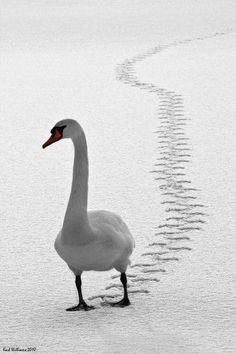 Swan wintertime