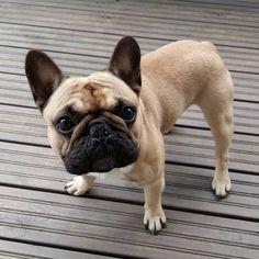 Elvis, the French Bulldog