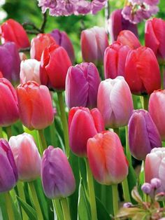 Darwin Tulips in shades of orange, pink, purple and red; 15 bulbs
