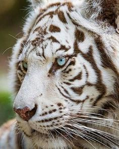 White Tiger | Photo by: Tambako The Jaguar  #WildlifeOwners