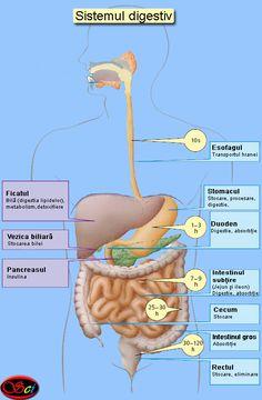 Sistemul digestiv - Scientia.ro