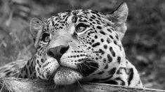 """fotografie belle in bianco e nero   ... Bianco E Nero"""" - 1366 x 768 - Animali Cuccioli - immagine foto"""