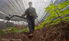 A farmer from the Miao minority sprays pesticide on his pseudo-ginseng field.