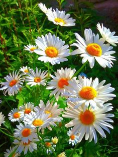 Carnations and daisies are two popular flowers that add a great touch to any garden. Learn how to grow carnation and daisy flowers in your home garden. Exotic Flowers, Amazing Flowers, White Flowers, Beautiful Flowers, Beautiful Moments, Purple Flowers, Daisy Flowers, Beautiful Landscapes, Beautiful Gardens