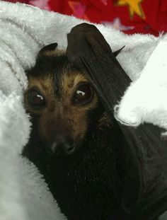bat in rehab flying fox baby bat