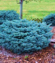Globe Blue Spruce Shrubs for Sale Online Globe Blue Spruce Shrubs are an easy-to-grow dwarf shrub that requires no maintenance. Long Blooming Perennials, Shade Perennials, Garden Shrubs, Flowering Shrubs, Garden Bed, Garden Plants, Shrubs For Privacy, Shrubs For Sale, Dwarf Shrubs