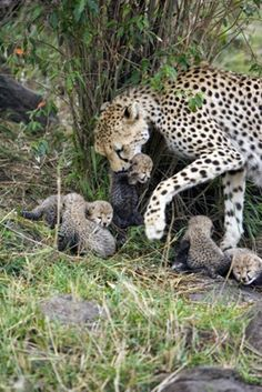 A cheetah taking care of her babies cubs , even the fastest animal in the world have things to be aware of like humans that like to hunt , monkeys some like to eat cheetah cubs , other cheetahs that want to steal their food , what prey and what isn't .  and wolves that live where they do