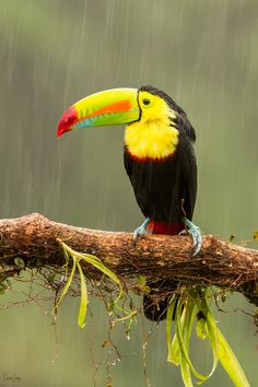 Keel-Billed Toucan Photo by Christian Sanchez -- National Geographic Your Shot Rare Birds, Exotic Birds, Colorful Birds, Tropical Birds, Beautiful Birds, Animals Beautiful, Unusual Animals, Animals And Pets, Cute Animals
