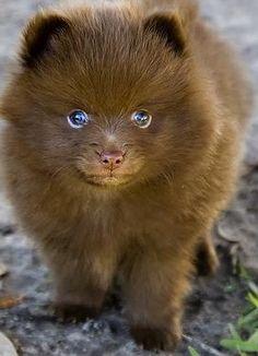 Teacup Pomeranians