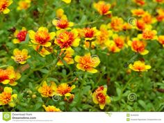 purslane | yellow + orange | good ground cover if needed, easy to grow, comes in yellow, apricot and an orange as well. perfect as a low plant in a pot, or in between taller plants in flower bed.