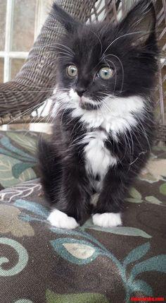 Tuxedo cat #cat - Care for cats at Catsincare.com!