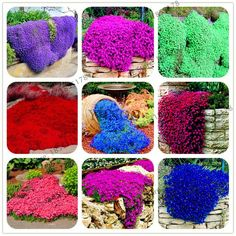 Big sale rare ROCK cress bonsai Climbing plant Creeping Thyme flores Perennial Ground cover flower for home garden Ground Cover Seeds, Ground Cover Plants, Landscaping With Rocks, Landscaping Tips, Flowers Perennials, Planting Flowers, Hardy Perennials, Bloom, Colorful Flowers