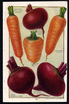 1919 Burpee Seed Catalog illustrations - Beets and  Carrots