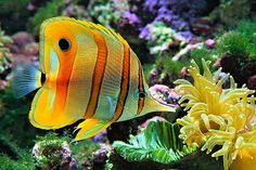 Copperband Butterflyfish. I got one...it's my new baby.