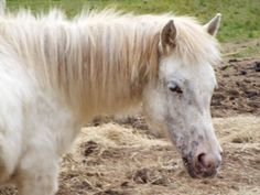 #Gandalf #dartmoor #Pony