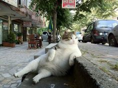 """Your cats are pussies. Check out the Istanbul """"neighborhood"""" cat. - Imgur"""