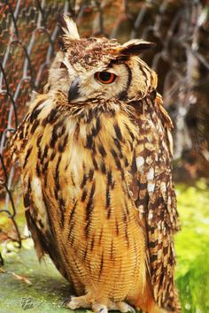 A nocturnal birds of prey typified by an upright stance, a large, broad head, binocular vision and binaural hearing, and feathers adapted for silent flight.