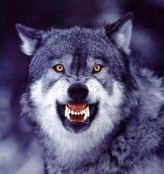 Grey Wolf. Wow He's beautiful.