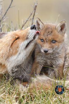Wild Animals, Cute Baby Animals, Beautiful World, Animals Beautiful, Fox Totem, Baby Cubs, Pet Fox, Wild Dogs, Forest Friends