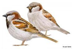 dibujo_gorrión común macho ©Juan Varela Nature Journal, Photo Reference, Watercolor Art, Illustration, Crafts For Kids, Clip Art, Birds, Drawings, Painting