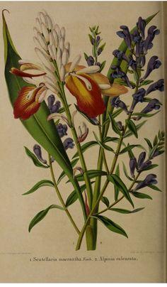 Indian Ginger, Alpinia calcarata with Skullcap, Scutellaria baicalensis [as Scutellaria macrantha]. La Belgique horticole, journal des jardins et des vergers, vol.7- t.26 (1857)