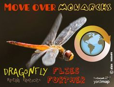 An inch-long dragonfly, Pantala flavescens, beats the Monarchs' migration distances, which may exceed 4,400 miles! Genetic evidence suggests they fly all over the world, mating with each other creating a gene pool that is consistent world-wide. To learn more about this extraordinary finding: https://www.sciencedaily.com/releases/2016/03/160302150020.htm