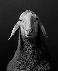 Sehr elegant dieses Schaf | Smini