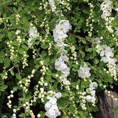 Helmipensas The Bride kukkii nyt 😍😘❤ Oksat ovat sirot ja kauniisti kaarevat. Valkoiset nuput ovat kuin pieniä helmiä ja pensas lähes peittyy vitivalkoisiin kukkiin. #flör#flör2017#helmipensas#exochordamacrantha #ihanathelmet #kukkajapuutarhaflör#kukkakauppa#piha#puutarha#turku#kissmyturku#love_turku#flowerstagram#flowerinspo#natureinspires#natureinspired