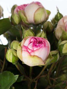 Mit einem besonders großen Runden Kopf fallen die Piano Rosen sofort ins Auge. Die hier angebotene Charming Piano zeigt eine helle creme-weißen Blüte welche an der Spitze mit einem kräftigen Pink abschließt.  Es handelt sich bei diesen Rosen um Freilandrosen. Bitte beachten Sie dabei folg…