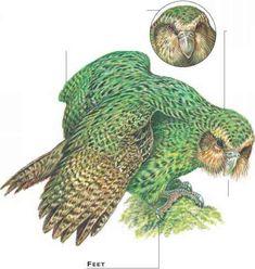 Kakapo Parrot, Living In New Zealand, Watch Blog, Rare Birds, Bird Prints, Bird Watching, Predator, Art Forms, Habitats