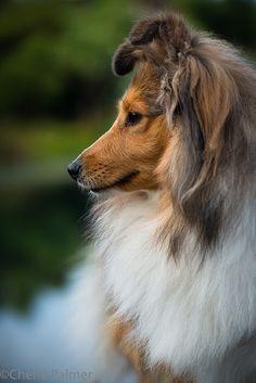 """Shetland Sheepdog """"Sheltie""""   nelsonfoxes   Flickr"""