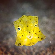 Juvenile boxfish from Fujairah, United Arab Emerates. Underwater Creatures, Underwater World, Beneath The Sea, Under The Sea, Types Of Sharks, Ocean Acidification, Coral Bleaching, Yellow Fish, Water Animals