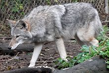 Coywolf - coyote-gray wolf hybrid, conceived in captivity.