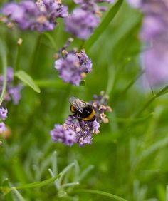 Plant for bees in the garden..