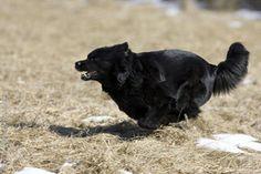 Swedish Lapphund photo | swedish_lapphund_0017