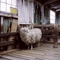 A Double-Fleeced Sheep, Fox Bay, West Falkland, Falkland Islands
