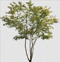 amelanchier cutout tree psd photoshop cépée multi-stemed
