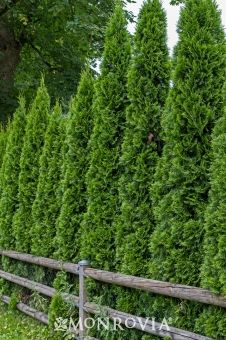 Malonyana Arborvitae (Thuja occidentalis Malonyana) - Monrovia - Moderate growth rate 20 to 30 ft. tall, 3 to 4 ft. Arborvitae Landscaping, Landscaping Near Me, Privacy Landscaping, Landscaping Software, Landscaping Ideas, House Landscape, Green Landscape, Landscape Design, Desert Landscape