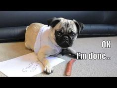 Oscar Pug Pug (owner of @Ursula) is a very proper #pug. He had this to say about our bully stick #dog treats! Thanks Oscar! // BestBullySticks.com Bully Sticks, Dog Stories, Dog Videos, Pug Life, Ursula, Dog Treats, Funny Dogs, Bullying, Pugs