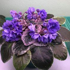 Wrangler's Cowboy Blues (6220) 05/20/1986 (W. Smith) Double blue. Variegated medium green and cream, plain. Large (DAVS 1123, TX Hyb) #wranglerscowboyblues #AVSA #africanviolet #indoorplant #houseplant #saintpaulia #senpolia #africanvioletlovers #fialka #africanvioletsocietyofamerica #flowers #bloom #fialki Outdoor Plants, Air Plants, Saintpaulia, Houseplants, Orchids, Blues, Green, Image, Indoor House Plants