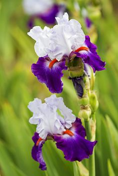 Purple Piquant Iris
