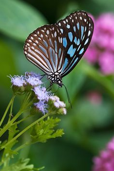 Gregg's mist flower is a popular butterfly plant in both the U. This dark blue tiger butterfly is one of its international fans. Learn how to grow this butterfly magnet in your garden. Butterfly Garden Plants, Butterfly Flowers, Monarch Butterfly, Blue Butterfly, Beautiful Butterflies, Hummingbird Plants, Blue Tigers, Blue Garden, Queen