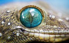 beautiful image | beautiful eyes animals beautiful jungle queen red dragon vimper dog ...