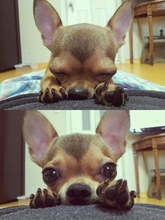 Chihuahua  Heart shaped face♥