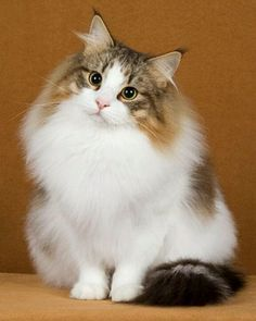 Norwegian Forest Cat.  Kudos to the photographer!!!!