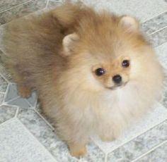 Hair line down to face. Puppy Plapyen finchspoms.com