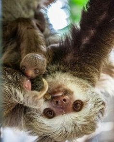 A new baby sloth born at the Lincoln Park Zoo. A Hoffmann's two toed Sloth Happy Animals, Cute Baby Animals, Animals And Pets, Wild Animals, Cute Sloth Pictures, Animal Pictures, Cute Baby Sloths, Baby Otters, Softies