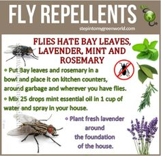 Natural fly repellents