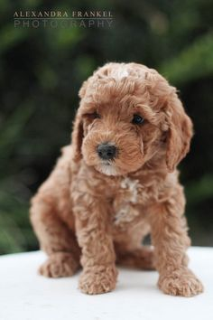 Cutest labradoodle puppy