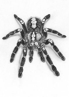 "Realistic ilustration of a male ""Poecilotheria metallica"" tarantula.   Sketched with pencil, and finished with fine-liners."